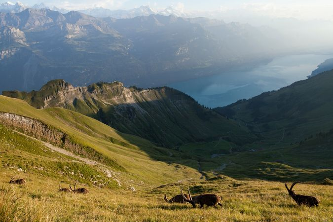 Brienzer Rothorn: Ibex Trek