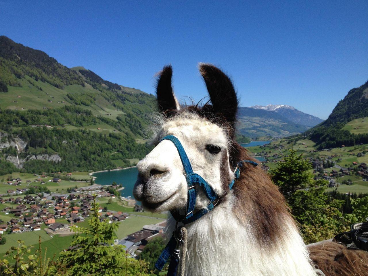 Trekking des lamas Giswil