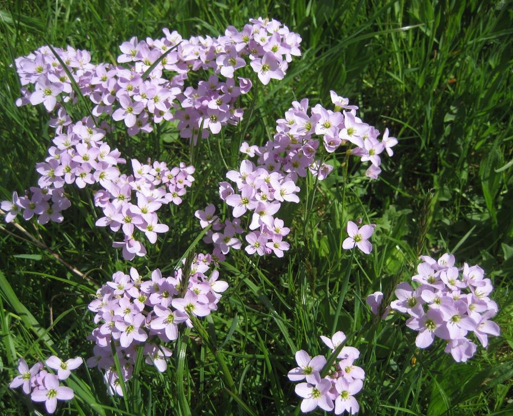 Wiesenpfad in Escholzmatt - Ein wohlriechender Blumenteppich